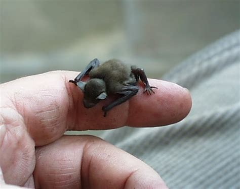 bat as tiny as bumblebee facts for kids wild life