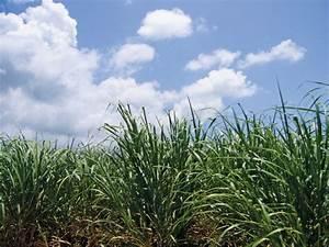 Sugarcane Fields Forever