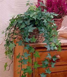 Efeu Als Zimmerpflanze : efeu top zimmerpflanzen online kaufen baldur garten ~ Indierocktalk.com Haus und Dekorationen