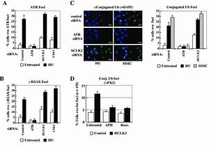 Figure S2 Hclk2 Deficiency Increases A Subset Of Atr