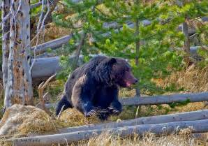 Grizzly Bear Yellowstone National Park