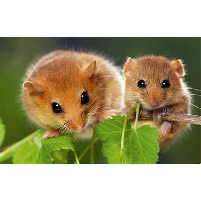 11 fascinating facts about the hazel dormouse - Country Life
