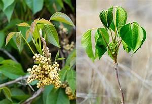 Western Poison Ivy | The Poison Ivy, Poison Oak, Poison ...
