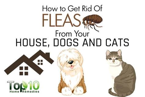 how to rid fleas in house how to get rid of fleas from your house dogs and cats