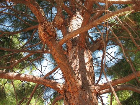 rust gall western pine ponderosa forest infection wheeler soper company education