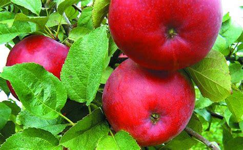 Kur palikušas garšīgās ābolu šķirnes - Dzidrie, Trebu ...
