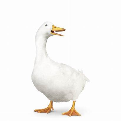 Duck Aflac Shadow Med Dental Downloads