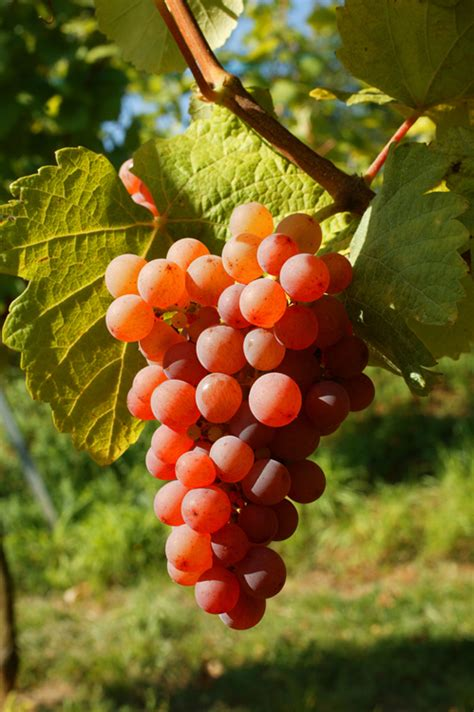 cuisines et vins gewurztraminer vin blanc d 39 alsace domaine claude et
