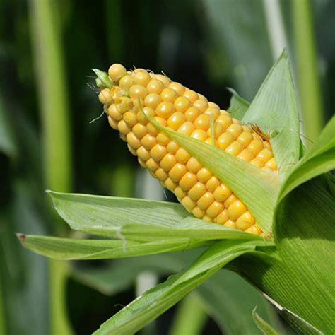 Corn (Maize)_Traditional Seeds - GardenHunt