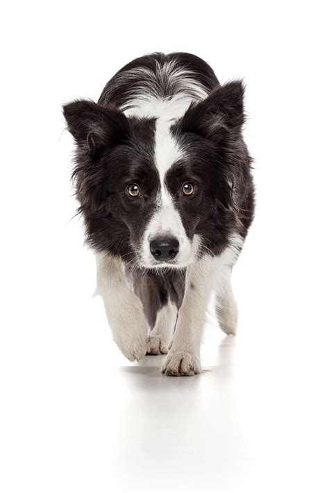 breed board border collie images  pinterest