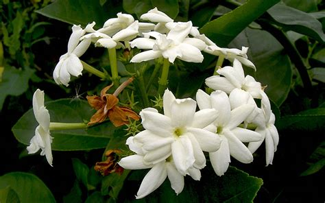 arabischer jasmin pflanze jasminum sambac jasmin