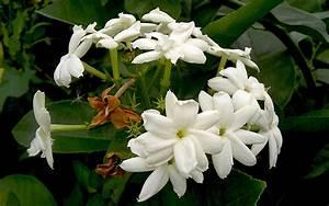 Jasmin Pflanze Winterhart : arabischer jasmin pflanze jasminum sambac jasmin jaborosa jojoba pflanzen saatgut ~ Frokenaadalensverden.com Haus und Dekorationen