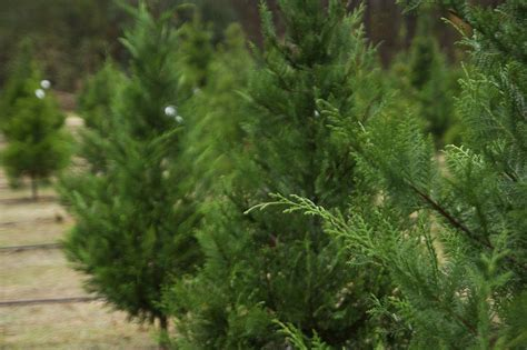 christmas tree farms in western washington by county