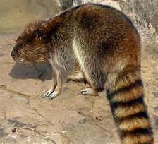 Image result for Beavcoon