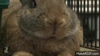 cute bunny nose twitching    gif