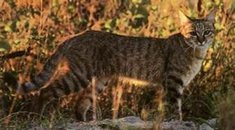 where do domestic cats come from where did the domestic cat come from the evolution of a