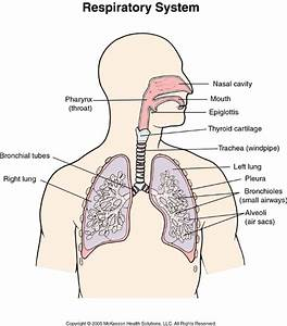 A Draw The Diagram Of Human Respiratory System And Labels