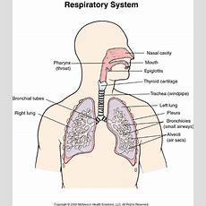 A Draw The Diagram Of Human Respiratory System And Labels The Following Parts 1 Part Where Air