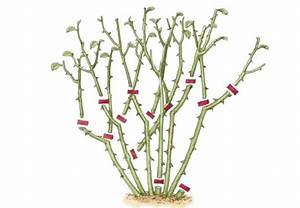 Wann Schneide Ich Hortensien : die besten 25 rosen schneiden ideen auf pinterest rosen pflegen rosen pflanzen und rosengarten ~ Frokenaadalensverden.com Haus und Dekorationen