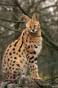 Serval Cat | ideas | Pinterest