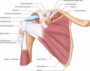 Posterior Muscles And Ligaments Of The Shoulder Girdle