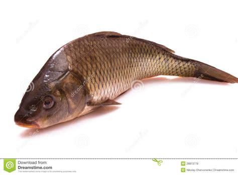 cuisiner une carpe pêchez une carpe images libres de droits image 28813779