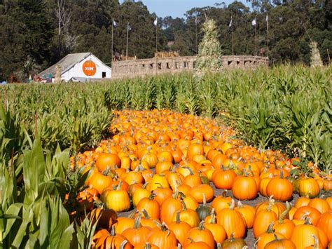 Half Moon Bay Pumpkin Patches by Download Free Software Pumpkin Patch And Maze In Half Moon