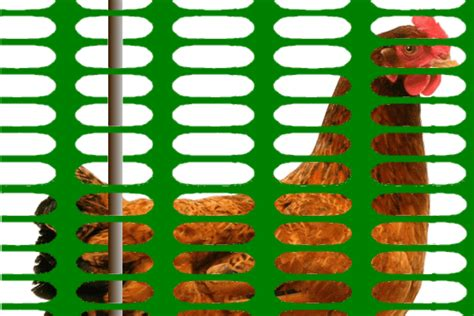 cuisine filet de poulet clôture en grillage pour poules poulailler bio