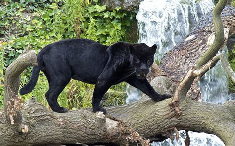 Panther Full Hd Wallpaper And Hintergrund  1920x1200 Id