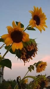 sunflowers on Tumblr