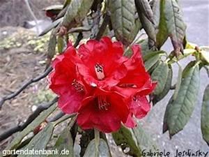 Wann Blüht Der Rhododendron : b rtiger rhododendron rhododendron barbatum schneiden pflege pflanzen bilder fotos garten ~ Eleganceandgraceweddings.com Haus und Dekorationen