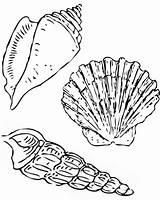 Coloring Seashell Scallop Florida Nutmeg Cerith Pages sketch template