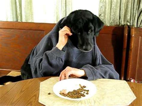 black labrador retriever  kitchen table silly dog youtube