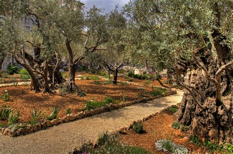 garden of gethsemane garden of gethsemane land of the bible