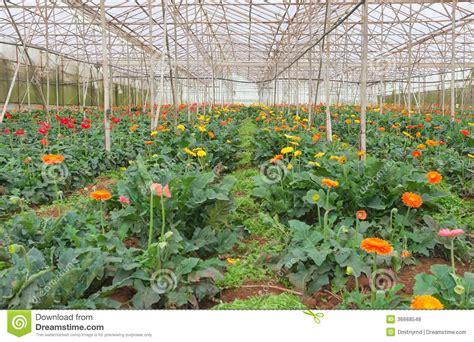 Plantation De Gerbera En Serre Chaude Photos Libres De