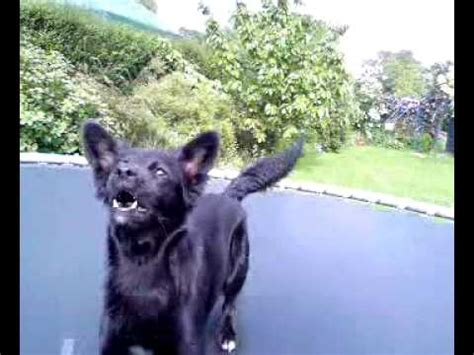 Dog Jumping On Trampoline YouTube