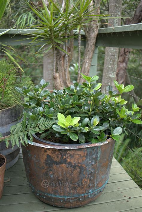 planting rhododendron in pots looking rhododendron lochiae mallee design