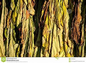 Tobacco Drying Stock Photo - Image: 46460964
