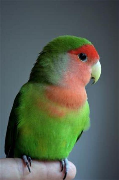 lovebirds as pets lovetoknow
