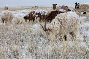 Maison Du Cachemire : mongolie la culture du cachemire passe l 39 heure thique ~ Zukunftsfamilie.com Idées de Décoration