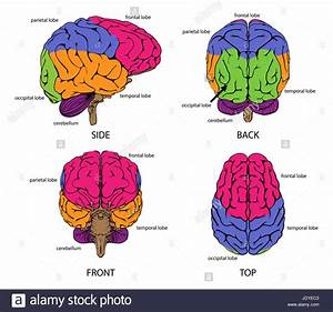 Human Brain From All Sides With Sections In Different