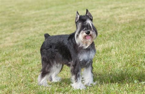 Schnauzer Shed by A Riddle In Fur Do Schnauzers Shed What You Need To