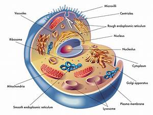 Anatomy  U0026 Physiology Of The Cell