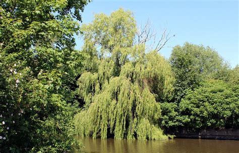 AGFonds - Vītols baltais (Salix alba)