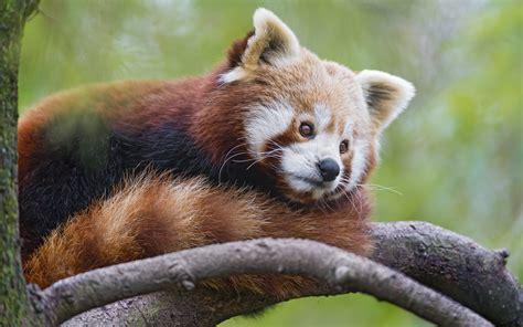 wallpaper red panda  animals