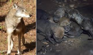 Wolves Giving Birth