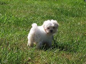 Shih Tzu Maltese Mix White | www.imgkid.com - The Image ...