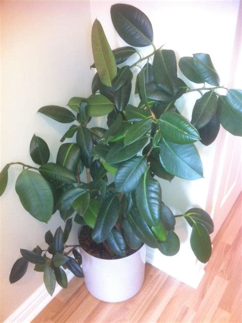 rubber tree plant answered houseplant 411 how to identify and care for houseplants part 36
