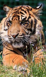 Tiger Cub Portrait Free Stock Photo - Public Domain Pictures