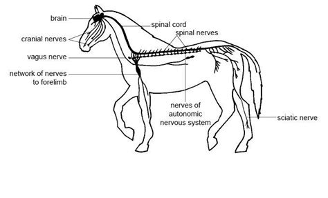 This system aids in the coordination of voluntary and involuntary actions, reflex actions in our body. Anatomy and Physiology of Animals/Nervous System ...